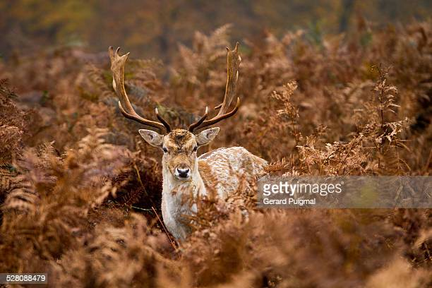 Deer surrounded by ferns in autumn