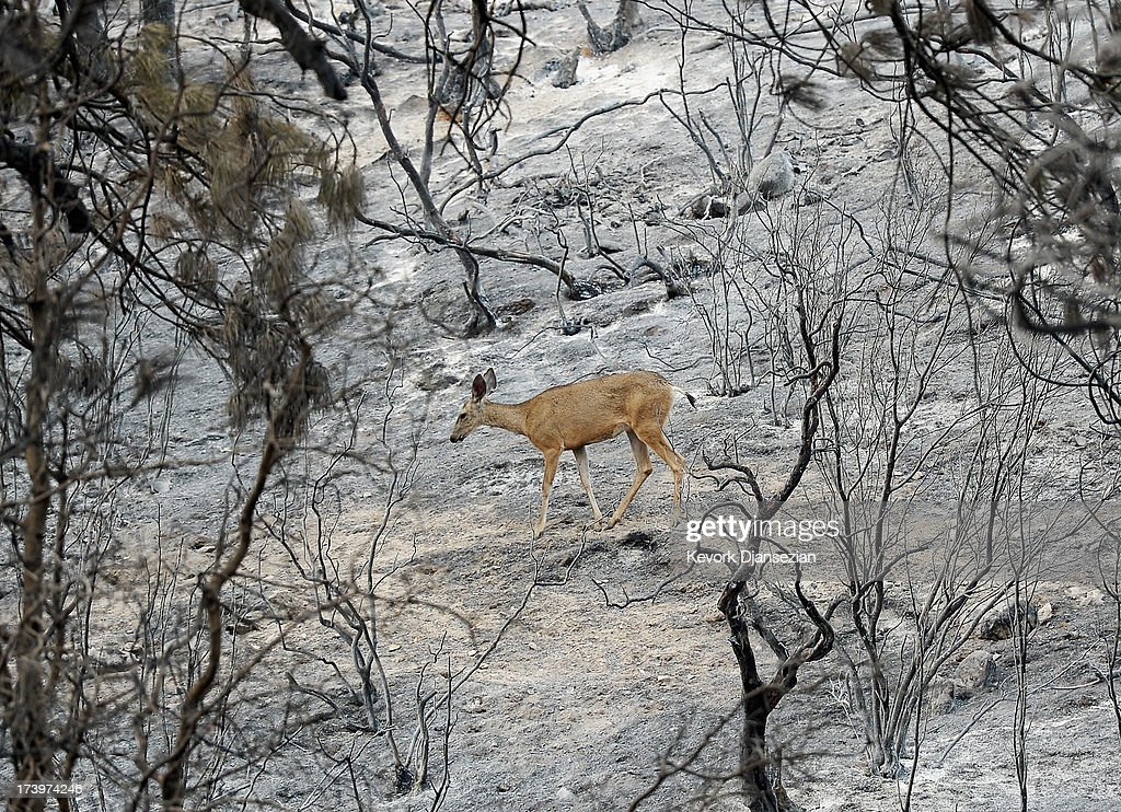 A deer walk through the charred ladnscape looking for food after the Mountian Fire raced through the area on July 18, 2013 near Idyllwild, California. The massive wildfire in Riverside county has grown to 23,000 acres and is advancing towards the mountain town of Idyllwild on one front and city of Palm Springs on the other front destroying several homs and forcing the evacuation of 6,000 people.