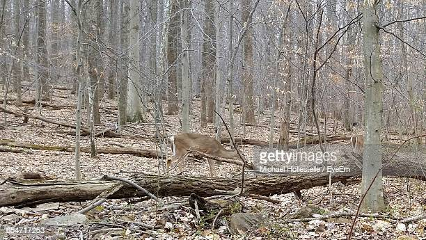 Deer Walking Against Bare Trees In Forest