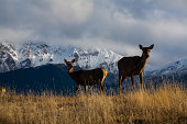 A deer with the mountain background