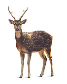 A deer in standing position with white background