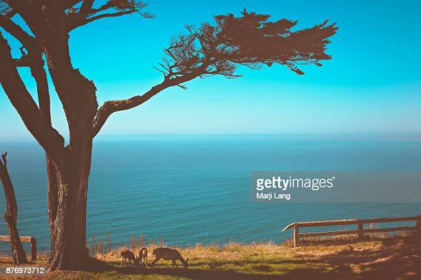 Deers grazing by a cypress tree in Point Reyes National Seashore California USA