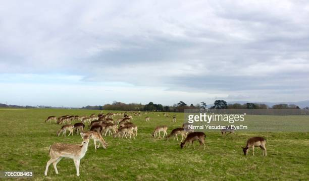 Deers Grazing On Grassy Field