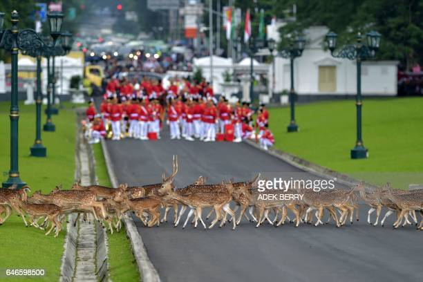 TOPSHOT Deers walk past Indonesia's honour guard as they wait for the arrival of Saudi Arabia's King Salman bin Abdul Aziz at the presidential palace...
