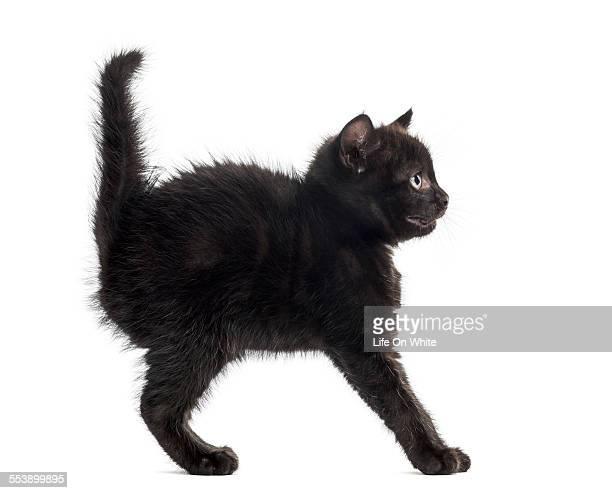 Defensive black kitten