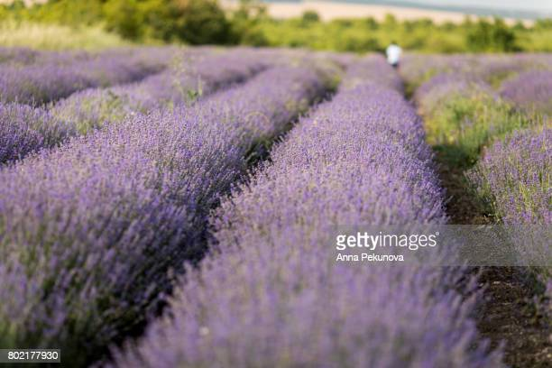 Defocused rear view of young boy running in a lavender field