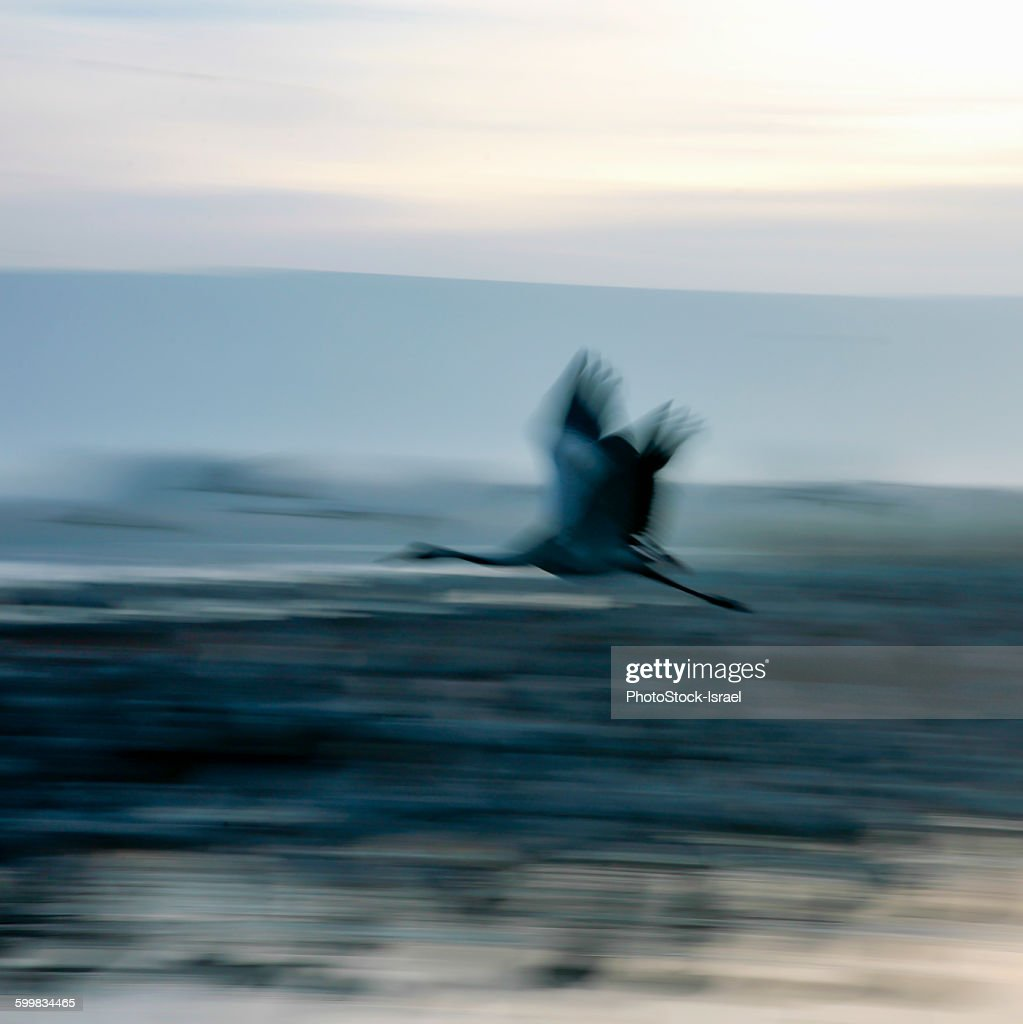 Defocused side view of common crane in flight, blurred motion