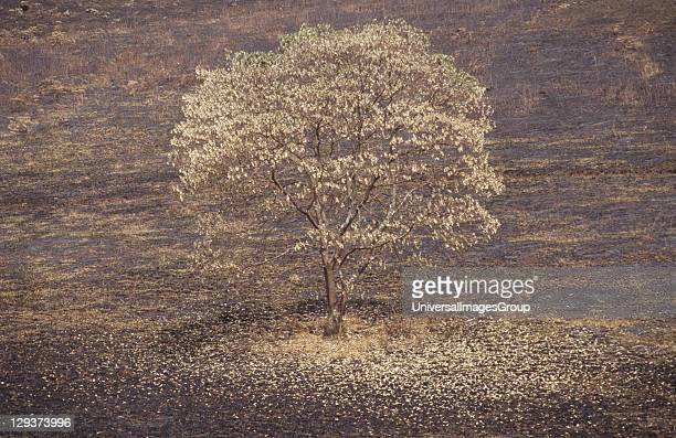 Deforestation Cameroon Mount Oku Bamenda Highlands Scorched Tree Standing On Grazing Land Burnt By A Cattle Owner To Encourage New Grass Shoots To...
