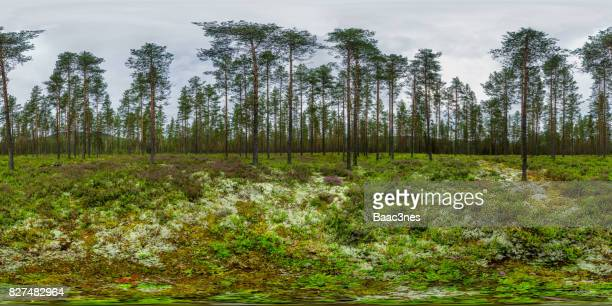 360 degree panorama shot - Pine forest and colorful heather