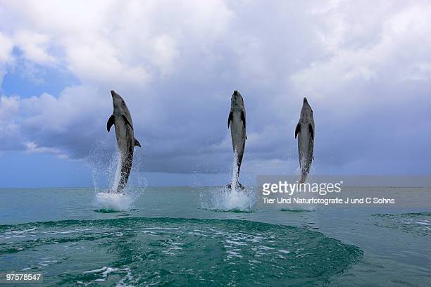 Delfin (Grosser Tuemmler)