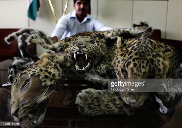 Delhi Police recover three leopard skins from a poacher on May 5 2012 in New Delhi India A man was arrested by police for poaching the endangered...