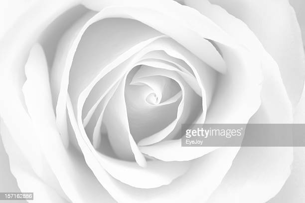 Delicate and Pure White Rose
