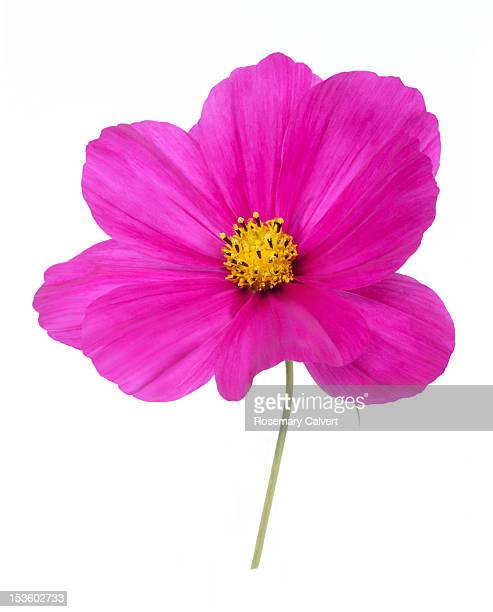 Delicate bright pink cosmos flower.