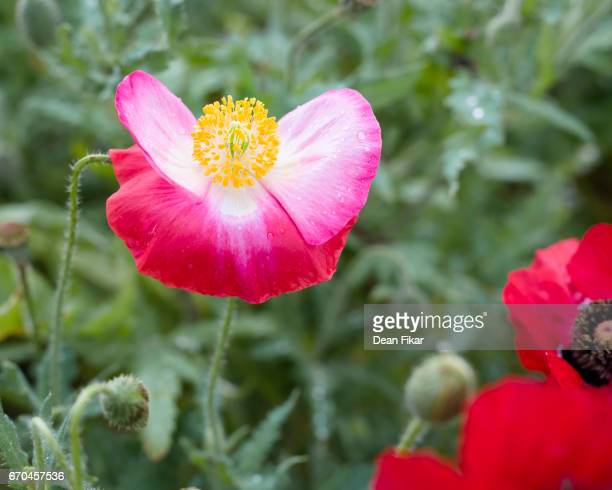 Delicate Corn Poppy, Detailed View