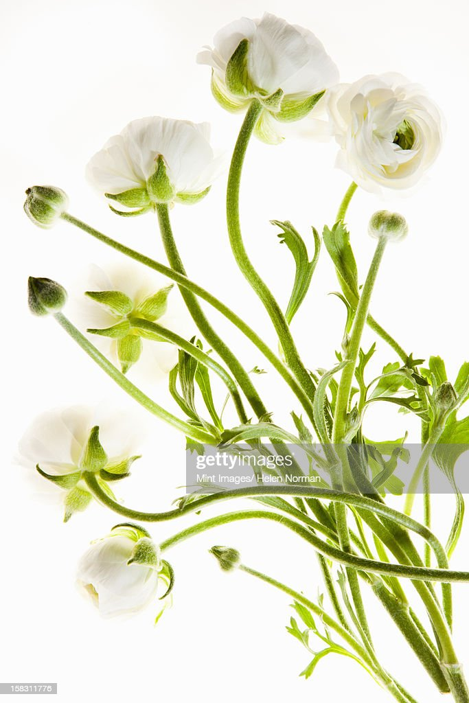 Delicate flowers with long thin stalks on a white background. : Stock Photo