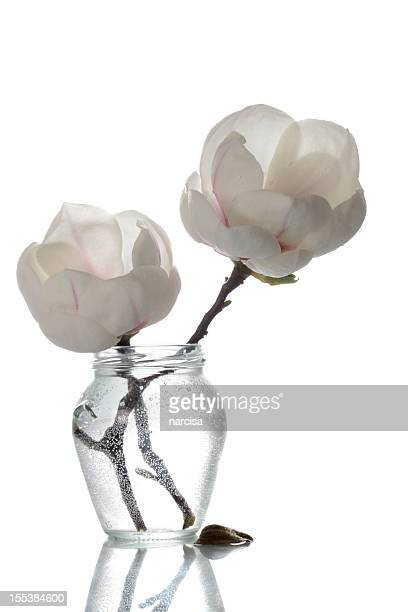 Delicate ivory magnolias in vase on white