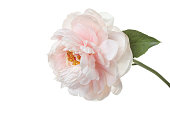 delicate pale pink peony flower isolated on white background