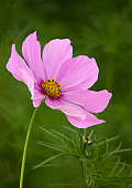 Delicate pink cosmos flower with bud in garden.