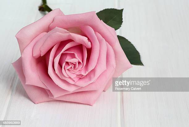 Delicate pink rose on white wood-grained surface