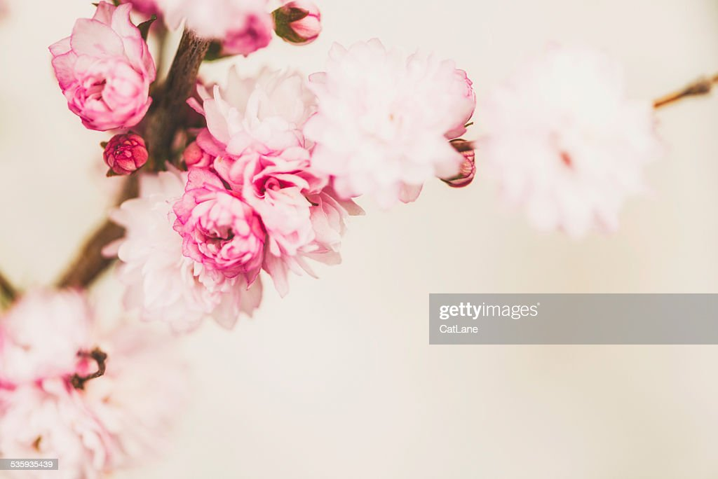 Delicate pink spring blossoms with copy space : Stock Photo