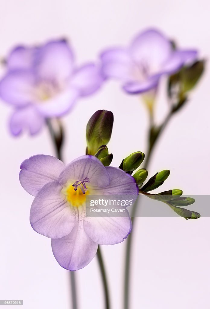 Delicate purple freesia flowers, white background. : Stock Photo