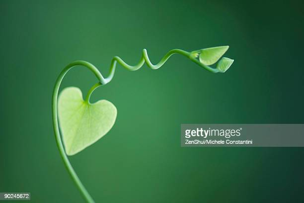 Delicate vine with heart shaped leaves
