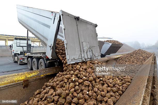 Delivery of sugar beets at a sugar mill