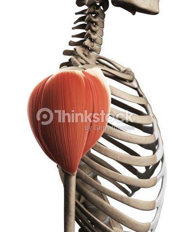 Deltoides Muscular Foto de stock | Thinkstock