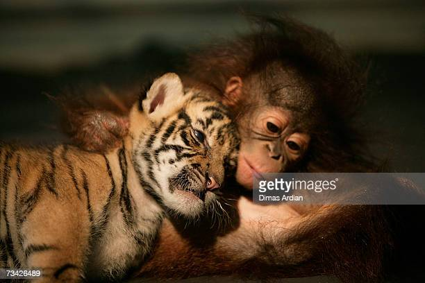 Dema the 26dayold endangered Sumatran Tiger cub cuddles up to 5monthold female Orangutan Irma at the 'Taman Safari Indonesia' Animal Hospital on...