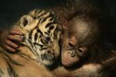 Dema the 26dayold endangered Sumatran Tiger cub cuddles up to 5monthold female Orangutan Irma at the 'Taman Safari Indonesia' Animal Hospital on...