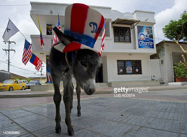 Demo a donkey that Colombian Silvio Carrasquilla a fan of US President Barack Obama plans to give the latter stands in front of Carrasquillo's house...