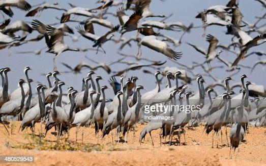 Demoiselle crane at wetland : Stockfoto