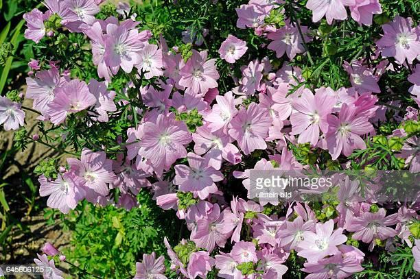 Den ganzen Sommer ueber erfreut uns die MoschusMalve mit einer Vielzahl von zartrosa Blueten die auch lieblich duften
