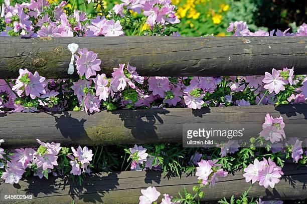 Den ganzen Sommer ueber erfreut uns die MoschusMalve mit zartrosa Blueten die auch lieblich duften