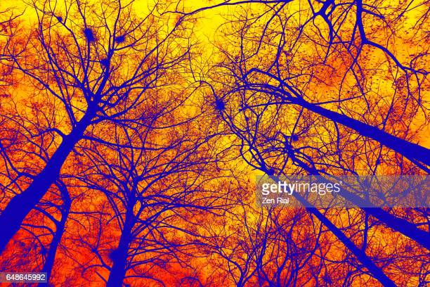 Dendrite-like image of bare cypress trees reaching up to golden sky
