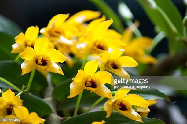 Dendrobium ochreatum orchid