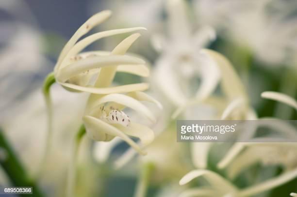 Dendrobium speciosum Flowers