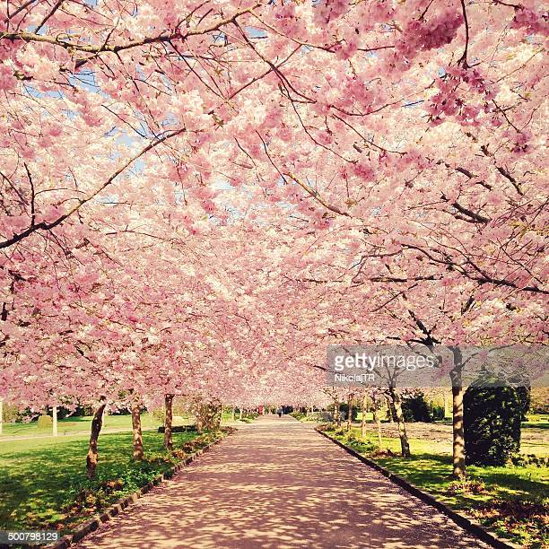 Denmark, Copenhagen, View of blossom cherry trees