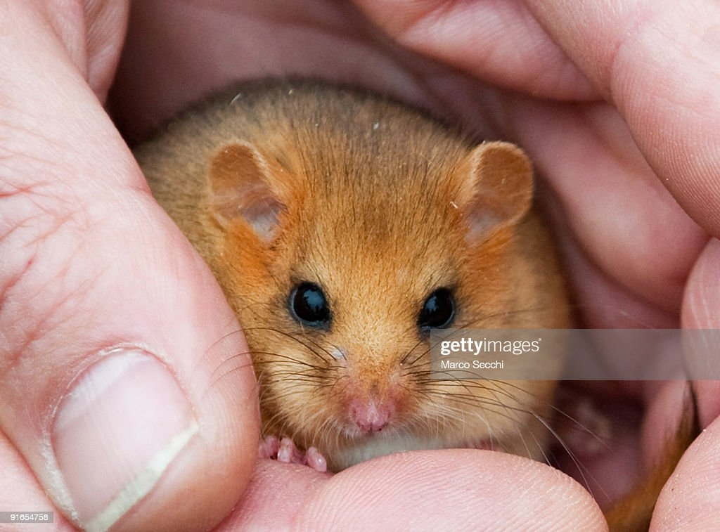 Dennis a captivebred dormouse at a photocall to launch the Great Nut Hunt at Burnham Beeches on October 09 2009 in Slough England The People's Trust...