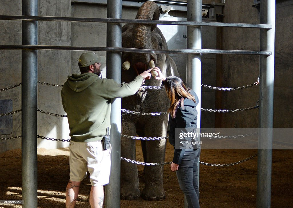 Dennis Donovan, left, animal care staff at the Denver Zoo, and Betsy Stringer, staff veterinarian, work with Billy a seven-year-old elephant at the Denver Zoo who's broken tusks are drawing national attention, February 11, 2016. Staff at the zoo along with a local aerospace engineer figured out a new way to fix the tusks using a composite materials of kevlar and carbon fiber.