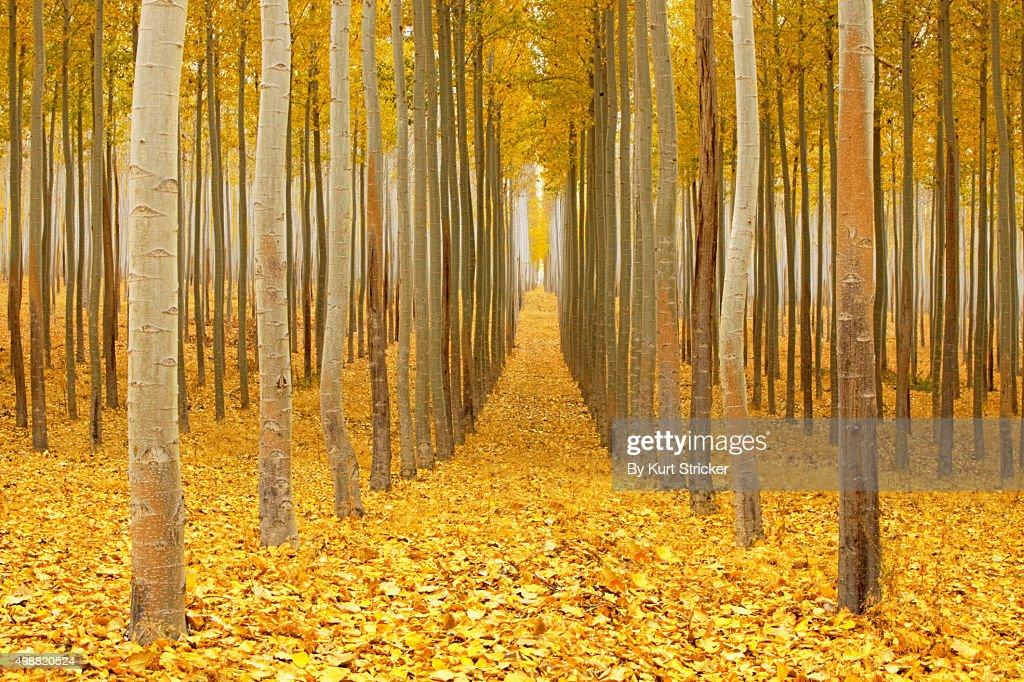 A dense poplar tree farm in Autumn
