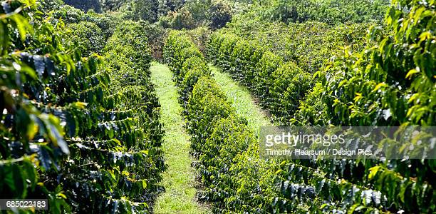 Dense rows of coffee trees, before cherries are well developed, in the North Kona District of the Big Island