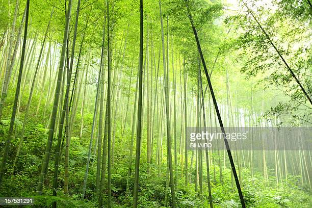 A densely planted bamboo forest
