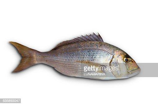 Dentex Dentex fish sparidae from Mediterranean sea : Stock Photo