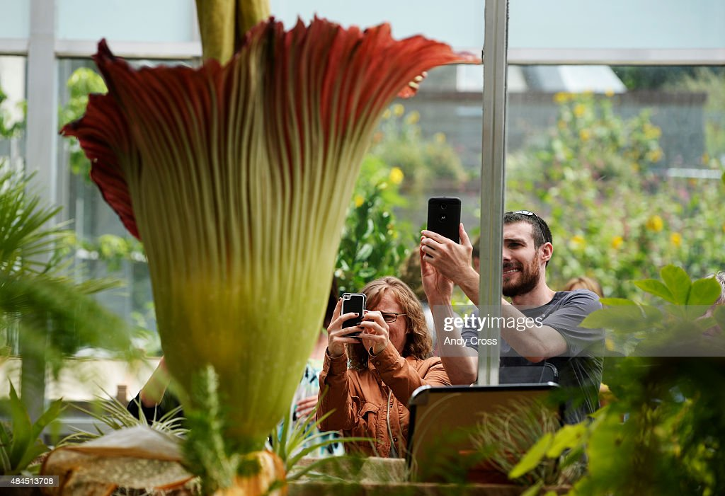 Denver Botanic Gardens patrons Melissa Dulcey, left, and Bob Davey take photograph the Corpse Flower, Amorphophallus titanium, after waiting three-hours August 19, 2015. The pungent flower blooms after 8 to 20 years of vegetative growth and lasts for up to 48-hours. Thousands waited in line for hours to get a glimpse, smell and have their picture taken close to it. Folks can view the flower until midnight Wednesday and 6 a.m. until midnight Thursday and regular hours on Friday from 9 a.m. until 9 p.m.