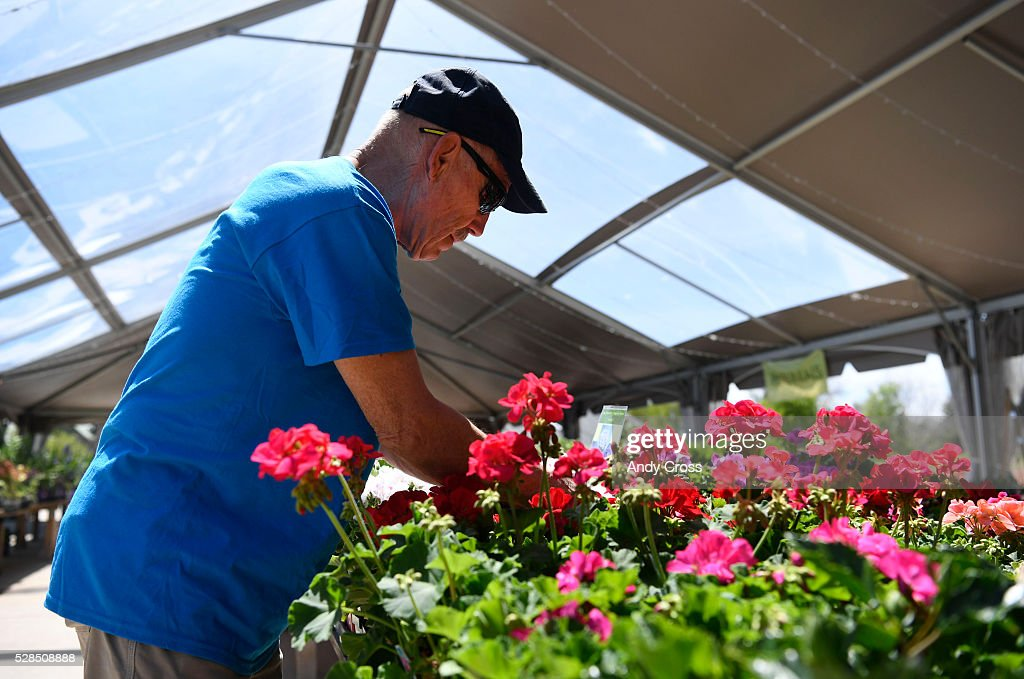 Denver Botanic Gardens volunteer Dave Schmidt deadheads Geranium flowers in preparation for the annual spring plant sale May 05, 2016. The public plant sale, which features veggies, annuals, perennials and many other plants and flowers is free to the public (plant sale and Gardens admission) that runs Friday and Saturday from 8 a.m to 5 p.m.