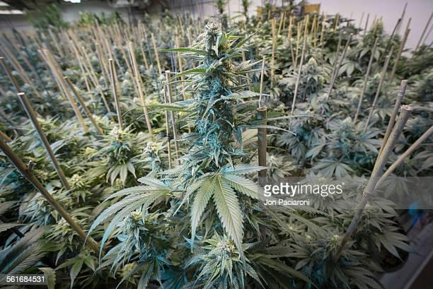 Denver Colorado Interior of a commercial medical and recreational marijuana grow facility