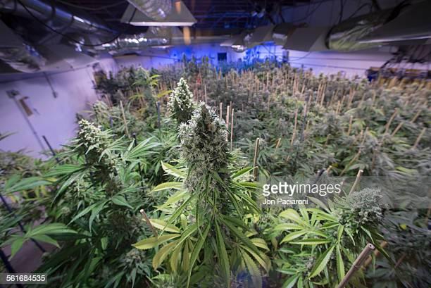 Denver Colorado Interior of a medical and recreational marijuana grow facility