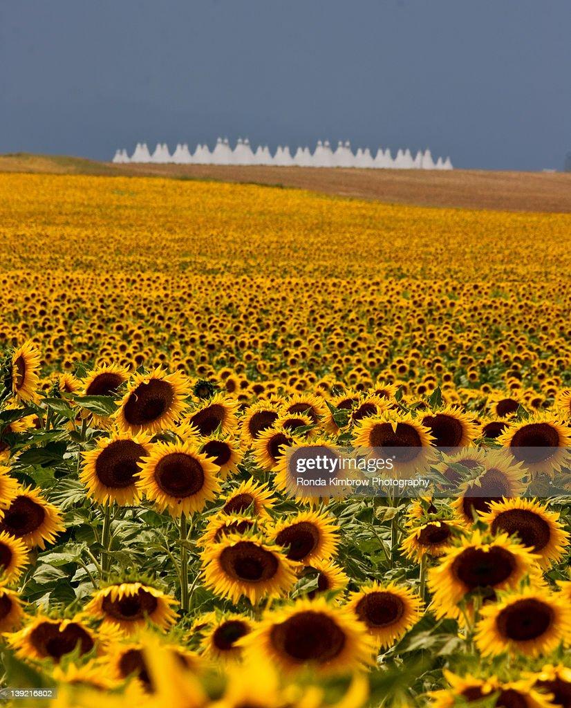 Denver International Airport And Sunflowers Stock Photo