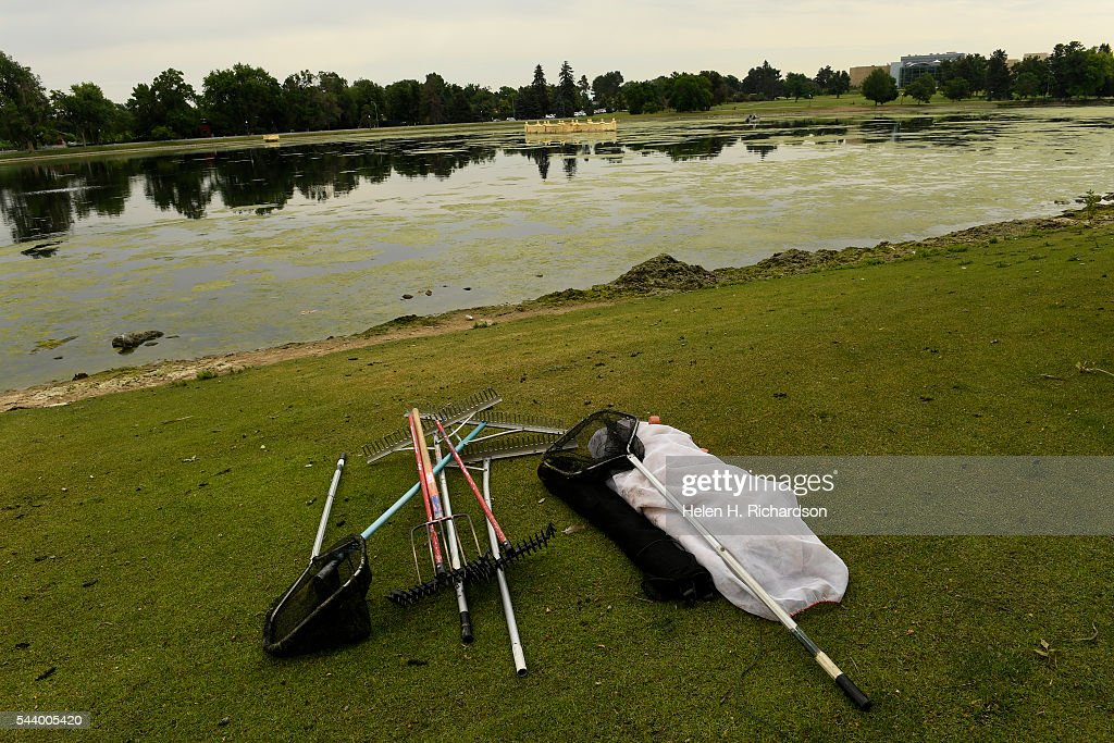 Denver Parks and Recreation rakes lie on the shore are being used to try to get rid of an algal bloom has taken over Ferril lake at City Park on June 30, 2016 in Denver, Colorado. Denver Parks and Recreation is trying to take care of a huge algal bloom that has taken over the lake and shut down the boating on the lake. The department is using an algaecide that they are sprinkling by hand into the water as well as rakes to try to pull the long algae out of the water.